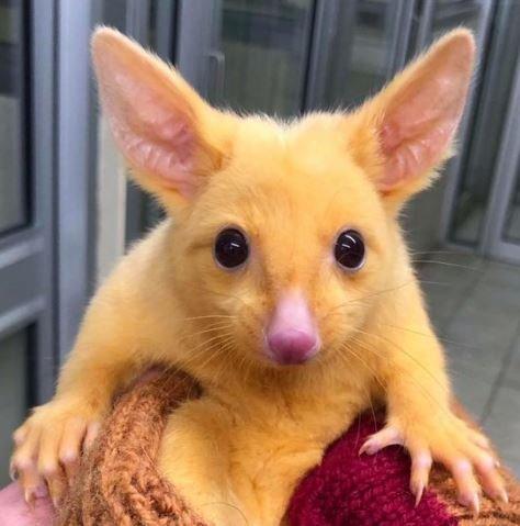 золотистый щеткохвост пикачу австралия