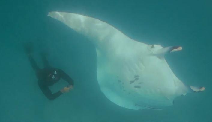 В Австралии трехметровый скат подплыл к людям за помощью