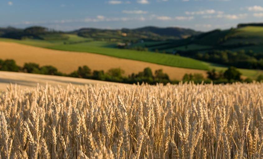 поле пшеницы, поджог, дзержинск, новости, милиция, сводка