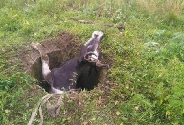 мозырский район, колодец, корова, мчс, достать, новости
