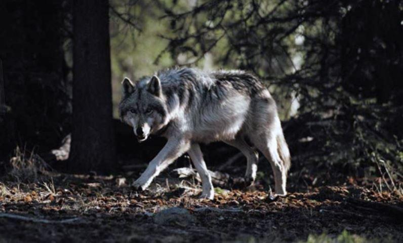 ушачский район, волки, деревня, нападение, новости
