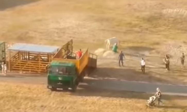 В Гомеле сбежавший бык гулял по проезжей части