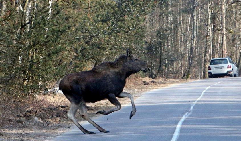 В Могилевском районе водитель сбил лося