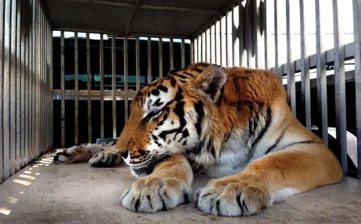 На польско-белорусской границе застрял грузовик с 10 тиграми