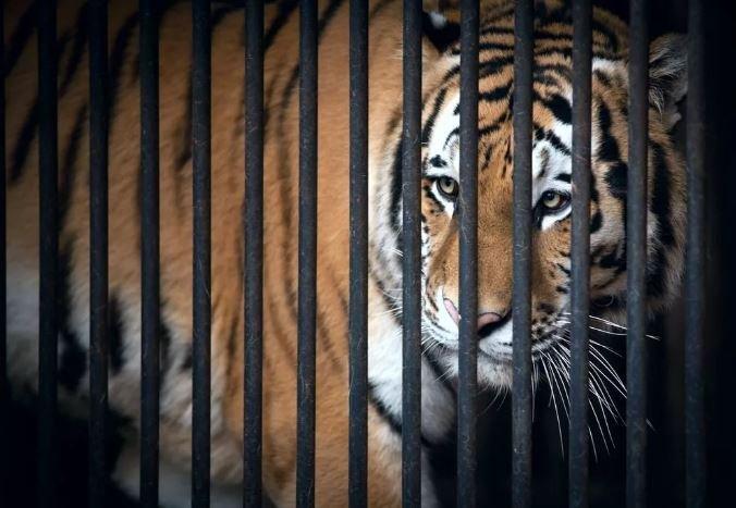 Застрявших на границе тигров поместили в Познаньский зоопарк
