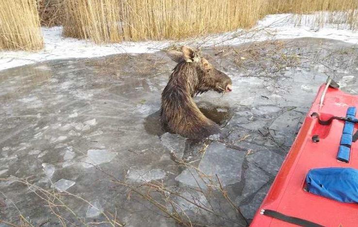 В Городокском районе спасатели достали провалившегося под лед лося