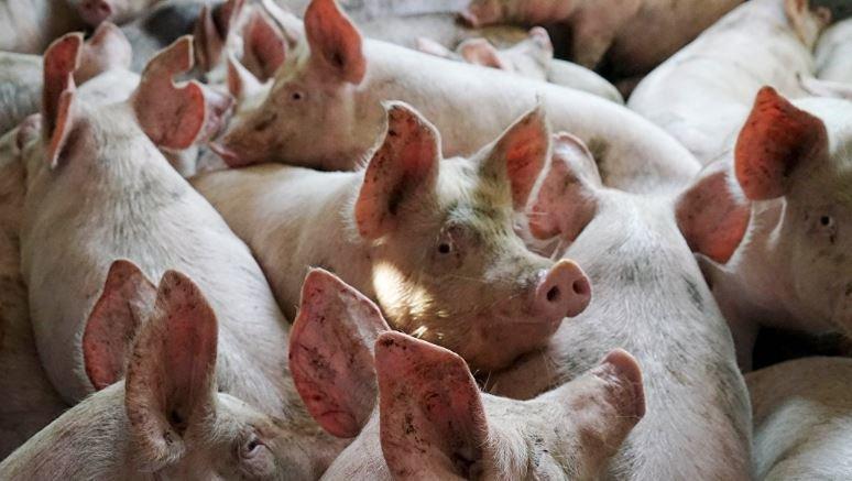 Беларусь ограничила ввоз свинины из Сербии из-за АЧС
