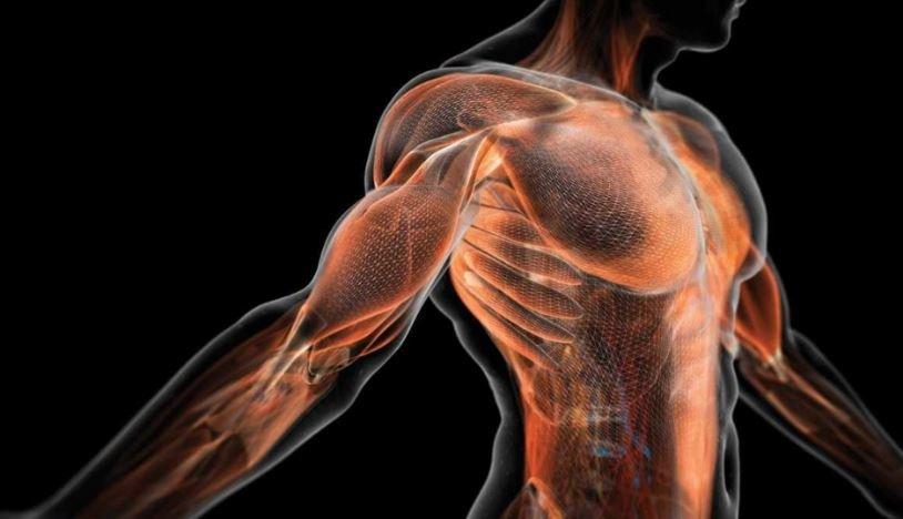 человеческое тело, мышцы, органы, сопротивление, кости, строение
