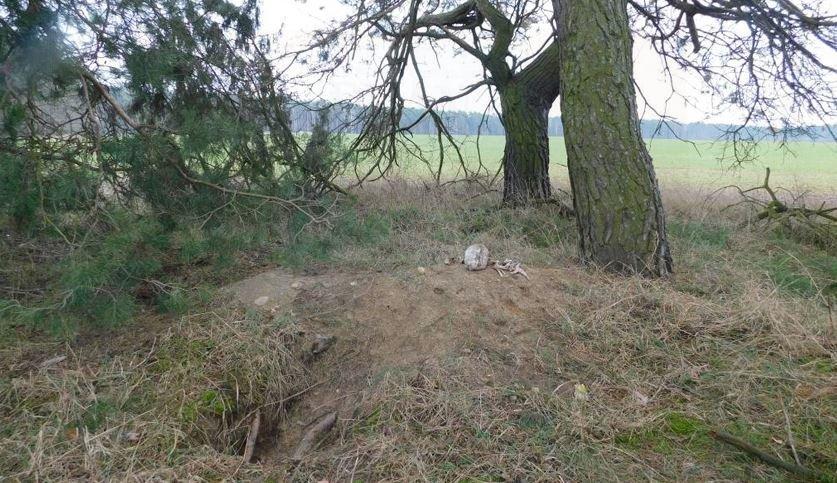 Лиса откопала человеческие останки в Брестском районе