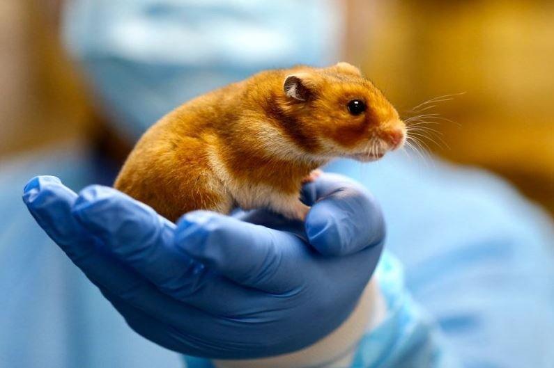 Эффективность масок против коронавируса доказали тесты на хомяках