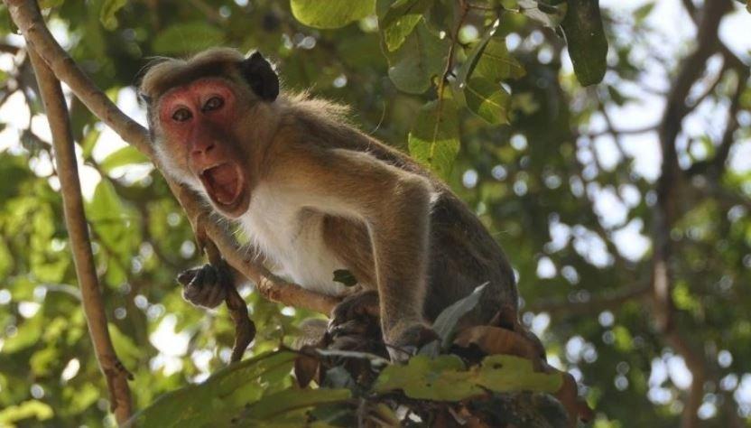 В Индии обезьяна похитила образцы крови пациентов с коронавирусом