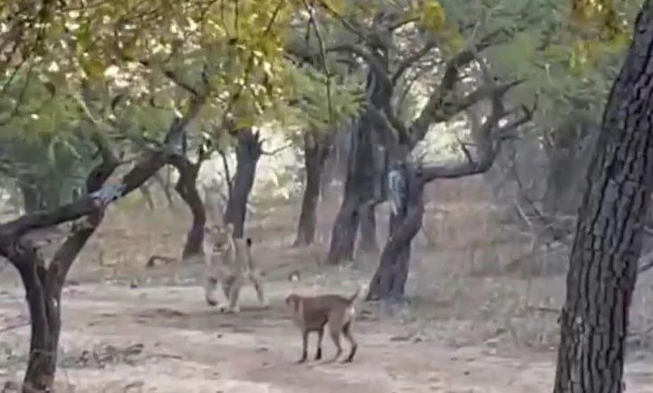 Смелая собака борется со львицей. Вирусное видео