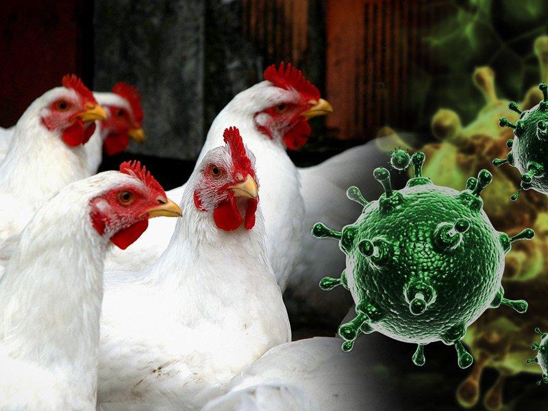 В России выявлено семь случаев заражения человека птичьим гриппом H5N8