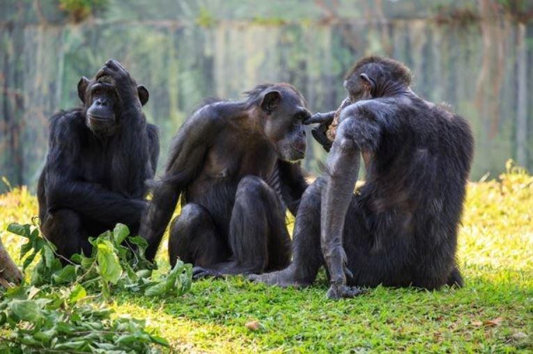 Профессор связал появление нулевого пациента ВИЧ с охотой на шимпанзе