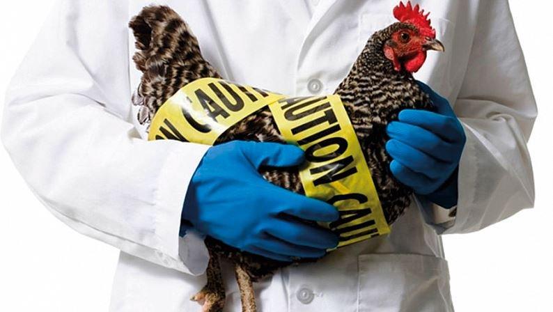 В ВОЗ оценили опасность распространения птичьего гриппа в России