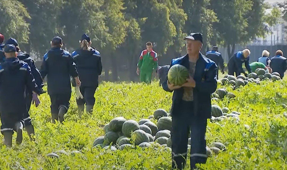 На подворье Лукашенко собрали 45 тонн арбузов пяти сортов